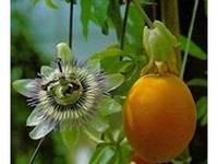 A passiflora e o seu fruto maracujá