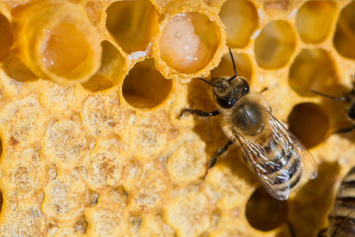 Benefits from Royal Jelly